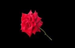 Prachtvolle Rotrose getrennt auf Schwarzem Stockfotografie