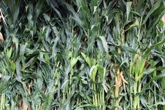 Prachtvoller Hintergrund von Fall cornstalks am lokalen Landwirtmarkt stockfotografie