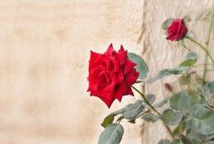 Prachtvolles Rot stieg Stockbilder