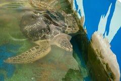 Prachuap Khiri Khan, Ταϊλάνδης - 18 Απριλίου, 2017: Μεγάλη χελώνα θάλασσας Στοκ Φωτογραφίες