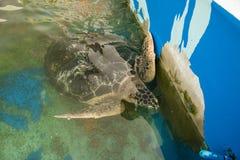 Prachuap Khiri Khan, Ταϊλάνδης - 18 Απριλίου, 2017: Μεγάλη χελώνα θάλασσας Στοκ εικόνες με δικαίωμα ελεύθερης χρήσης