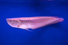 Prachuap Khiri Khan, Ταϊλάνδης - 18 Απριλίου, 2017: Ψάρια ι Arowana Στοκ Εικόνες