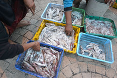 Prachuap Khiri Khan, Thailand. March 22: Fishermen unloading squid on the beach on March 22, 2014 in Stock Photography