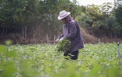 Prachuapkhirikhan, Tailândia - 12 de julho de 2016: Fazendeiro local tailandês que colhe uma batata doce (batatas doces) em um ca Imagem de Stock Royalty Free