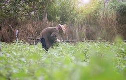 Prachuapkhirikhan, Tailândia - 12 de julho de 2016: Fazendeiro local tailandês que colhe uma batata doce (batatas doces) em um ca Foto de Stock Royalty Free