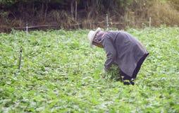 Prachuapkhirikhan Tajlandia, Lipiec, - 12, 2016: Tajlandzki lokalny rolnika zbierać słodcy potatoyams w polu, Prachuapkhirikhan Fotografia Royalty Free