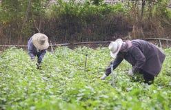 Prachuapkhirikhan Thailand - Juli 12, 2016: Thailändsk lokal bonde som skördar en sötpotatis (sötpotatisar) i ett fält Arkivfoton