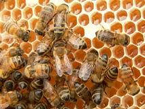 pracować pszczół Obrazy Stock