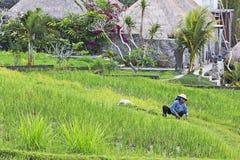 Pracować w ryżowych polach Zdjęcie Stock