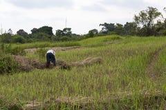 Pracować w ryżowych polach Obraz Stock