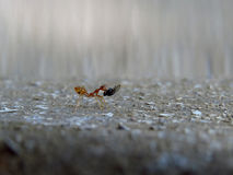 Pracowita mrówka Zdjęcie Stock