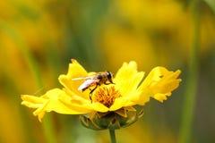 Pracowita pszczoła Zdjęcia Stock