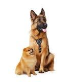 Pracowniany pomeranian i Duzi i mali psy odizolowywający na bielu Zdjęcia Stock