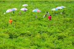 Pracownicy żniwo chili tapetuje w dolinnej wysokiej górze północ Tajlandia, 26 2018 Październik, Tajlandia, wieśniacy zbierają obraz stock
