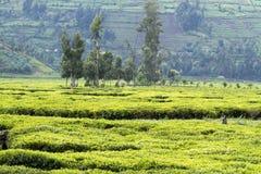 Pracownicy przy herbacianą plantacją obraz royalty free