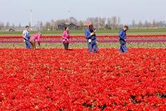 Pracownicy przy pracą w tulipanowych polach, Noordoostpolder, Flevoland, holandie obraz royalty free