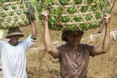 Pracownicy w żniwo ryż fotografia stock