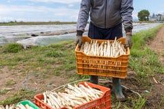 pracownicy w gospodarstwie rolnym podczas zbierać białego asparagus obrazy royalty free