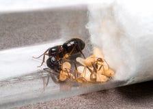 Pracownik mrówka karmi królowej Fotografia Royalty Free