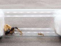 Pracownik mrówka karmi królowej Obrazy Royalty Free