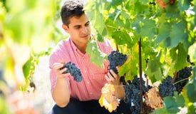 Pracownik przy winogrona gospodarstwem rolnym Fotografia Royalty Free