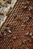 Pracownik pszczoła na honeycomb 2 Fotografia Stock