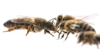 Pracownik pszczoły i królowych apis mellifera Obraz Stock