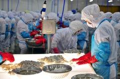Pracownik sprawdza kolor przetwarzać garnele dla eksportować w owoce morza fabryce w Wietnam Obraz Stock