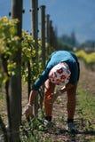 pracownik winnic bud nacieranie Zdjęcie Royalty Free
