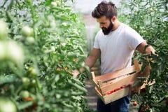 Pracownik zbiera pomidory w szklarni obraz stock