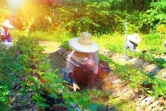 Pracownika żniwa truskawki obraz stock