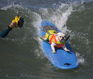 Practicando surf y presentando el dogo Foto de archivo