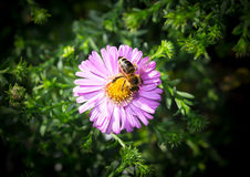 Pracująca pszczoła Fotografia Stock