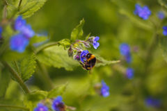 Pracująca pszczoła Fotografia Royalty Free