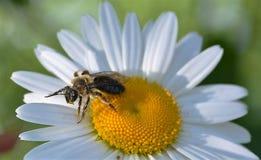 Pracująca pszczoła 6 Fotografia Stock