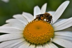 Pracująca pszczoła 5 Zdjęcia Royalty Free