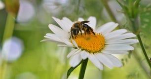 Pracująca pszczoła 4 Fotografia Royalty Free