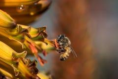 Pracująca pszczoła Zdjęcie Royalty Free