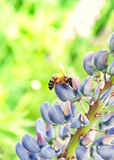 Pracująca pszczoła na kwiacie Zdjęcie Royalty Free