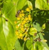 Pracująca pszczoła robi mię ` s rzecz Fotografia Royalty Free
