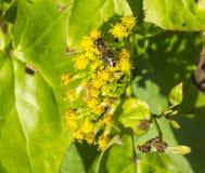 Pracująca pszczoła robi mię ` s rzecz Obraz Royalty Free