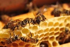 Pracujące pszczoły Zdjęcia Stock