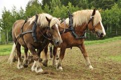 Pracujący koń Zdjęcia Royalty Free