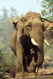 Pracujący słoń, Myanmar zdjęcie stock