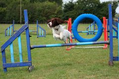 Pracujący typ angielskiego springera spaniela zwierzęcia domowego gundog skacze zwinność skok Zdjęcia Stock