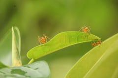 Pracująca mrówka Obrazy Stock