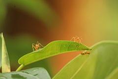Pracująca mrówka Zdjęcie Stock