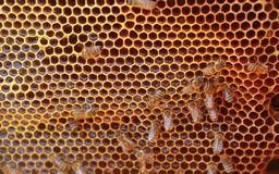 Pracujący honeybee Zdjęcie Stock