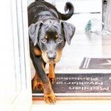 Pracujący pies rottweiler szczeniak obraz royalty free