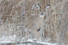 Pradaria dos cervos Fotos de Stock Royalty Free
